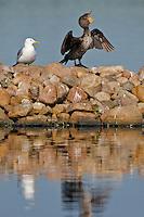 Double-crested Cormorant sunning itself on a rocky island