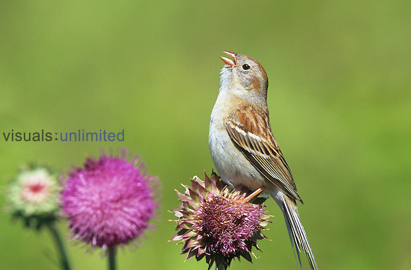 Field Sparrow (Spizella pusilla) singing on a Thistle flower (Cirsium), North America.
