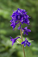 Barbey's Delphinium also known as a subalpine larkspur.