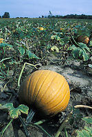 Pumpkins Ready for Harvest