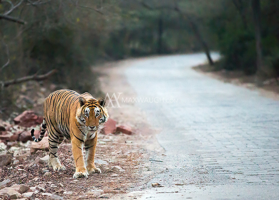 We encountered male tiger T-28 during a territorial patrol very early in the morning in Ranthambore National Park.  Due to the dark conditions, the image quality of these photos isn't great.