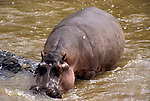 Africa, Kenya, Maasai Mara. A hippopotamus in the Olana River.