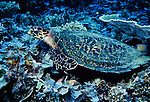Milne Bay, Papua New Guinea; Hawksbill turtle (Eretmochelys imbricata), to 84 cm (3 ft.), endangered species, found in tropical reef areas in the Atlantic, Pacific and Indian oceans , Copyright © Matthew Meier, matthewmeierphoto.com