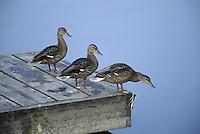 Three Ducks on a Dock