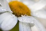 Cultivated daisy, detail, in garden border after rain, UK