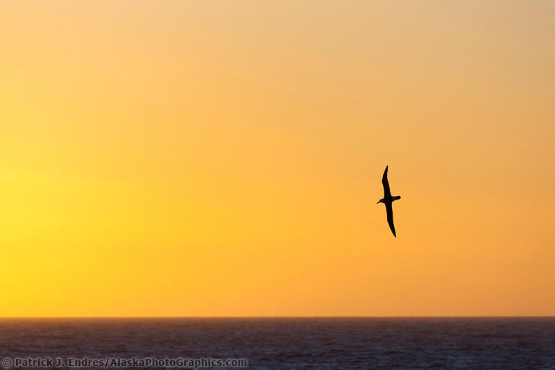 Black-browed albatross soars over the Scotia sea.