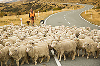 Sheep being herded along road in Mt. Cook national park, New Zealand