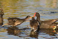 559500009 common gallinules gallinula galeata or common moorhens gallinula chloropus wild texas.Adult Feeding Chicks.Anahuac National Wildlife Refuge, Texas