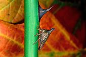 Membracidae.A Thorn Mimic Treehopper...