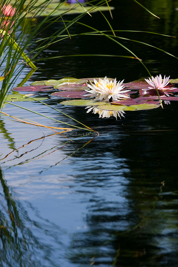 how to grow water lilies in a pond