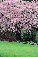Pink Japanese cherry tree laden with blossoms in Spring, Prunus 'Yae-murasaki', Stanley Park, Vancouver, BC.