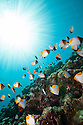 Sun rays through the water column with beautiful healthy reef system with schooling pyramid butterfly fish (Hemitaurichthys polyepis).