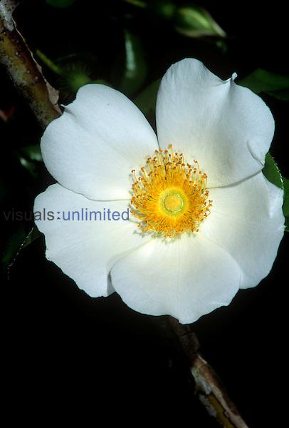 Cherokee Rose (Rosa laevigata) Georgia state flower.