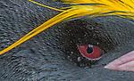 South Georgia Island, macaroni penguin (Eudyptes chrysolophus) , Cooper Bay