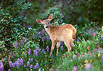 Black-tailed deer fawn, Olympic National Park, Washington