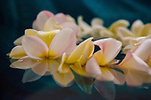 A lei of pink and yellow plumerias floats in the water, Hawai'i.