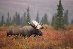 Alaskan Denali Special