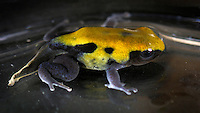 Yellowback Poison Dart Frog (Dendrobates tinctorius), captive.