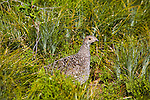 Grouse in grass