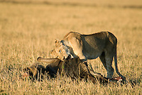 A female lion with her wildebeest kill at sunrise in Kenya's Maasai Mara.