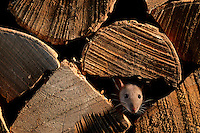 A brown rat amongst a woodpile.