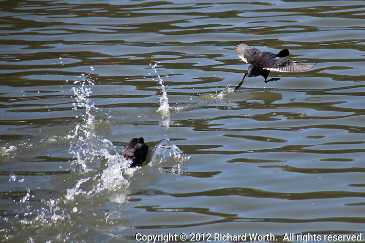 An American Coot nails a come-from-behind lead in a two-bird race at the San Leandro Marina, San Leandro, California.