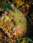 Kenting, Taiwan -- Reef stonefish (Synanceia verrucosa)<br />