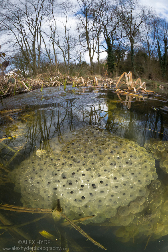 Frogspawn from Common Frog {Rana temporaria}, fisheye view showing pond habitat. Peak District National Park, Derbyshire, UK. March.