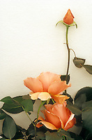 Rose 'Just Joey' against cream wall, with rosebud &amp; rose flowers in apricot color, with foliage