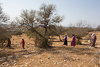 Morocco - Tidzi - Morocco - Tidzi - Members from the Ajddigue looking for the Argan fruits in the forest. The argan oil is extracted by local women in the same traditional way that was passed on by their ancestors. After collecting the fallen fruits from the trees, women crush their nuts in order to extract the kernels, which are then passed through a millstone and grinded. The oil is extracted by adding water and pressing the resulting mash. It takes around 30 kilos of fruits to make one liter of argan.