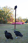 Black Vultures, also known as the American black vulture, in Everglades National Park, Florida, USA