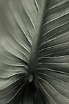 cala lily study four : fine art photographs by San Francisco Bay Area - corporate and annual report - photographer Robert Houser. 2009 pictures.