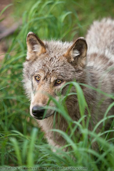Gray wolf, Katmai National Park, southwest, Alaska.
