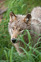 Gray wolf, Katmai National Park, southwest, Alaska.