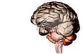 An anterolateral view (left side) of the brain. Royalty Free