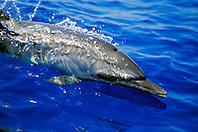 pantropical spotted dolphin wake-riding, Stenella attenuata, off Kona Coast, Big Island, Hawaii, Pacific Ocean.