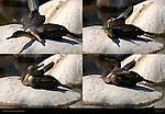 Cormorant Courtship Behavior Southern California Composite Image