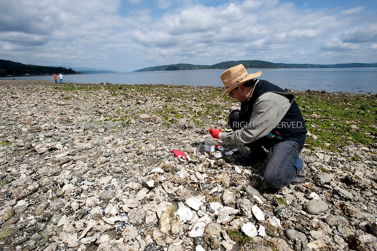 4/25/2009--Skokomish Nation, WA, USA..Gathering oysters at the Potlatch State Park on  the Hood Canal. The Hood Canal is a glitteringly beautiful 60-mile long fjord and the western waterway of Puget Sound, located about an hour and a half outside Seattle. With the snow-clad Olympic Mountains as a backdrop and beaches bristling with oysters, clams, mussels, and crabs, it's ripe for a shellfish safari...©2009 Stuart Isett. All rights reserved.