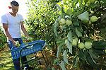 Foto: VidiPhoto<br /> <br /> ZOELEN - In Zoelen worden bij teler Adri van de Berg vrijdag al volop appels geplukt, ondanks dat het nog hoogzomer is. De eerste appels van het seizoen, de zogenoemde Yellow transparant, gaan naar fruitveiling Fruitmasters in Geldermalsen. Van de Berg teelt op 40 ha. zowel hardfruit als zachtfruit.