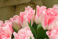 Tulipa 'Akela' pink and white tulips in flower with blurred background and head space