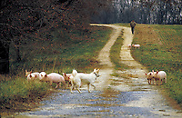 A white farm dog tries to herd escaping pink pigs back up the lane as farmer walks toward them, livestock. Betterton Maryland USA Eastern Shore, Kent County.