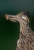 576010035 a wild greater roadrunner geocoyccx claifornianus holds grasshopper prey in its beak on a private ranch in the rio grande valley texas united states