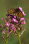 Heath Fritillary Butterfly, Mellicta athalia, resting with wings open on pink flower, orange and brown colours, Provence.France....