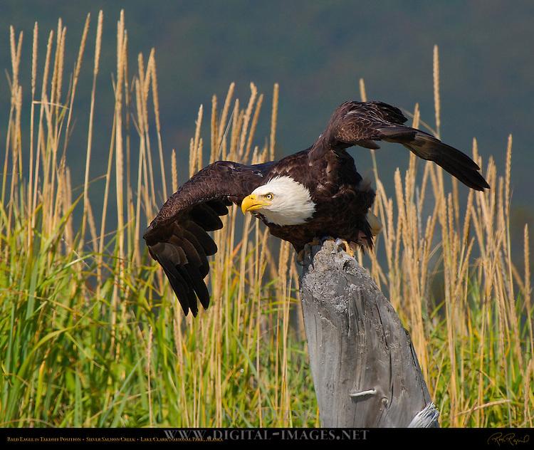 Bald Eagle in Takeoff Position, Silver Salmon Creek, Lake Clark National Park, Alaska