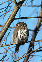 The back of a pygmy owl's head is adorned by two dark spots, which look like eyes and are used to fool predators.  A pair of Northern pygmy owls delighted visitors near Carnation for a few weeks in January of 2015.