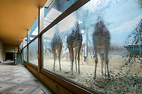 Low angle view through glass window of Giraffes in  enclosure with fresco, Parc Zoologique de Paris, or Zoo de Vincennes, (Zoological Gardens of Paris, also known as Vincennes Zoo), 1934, by Charles Letrosne, 12th arrondissement, Paris, France, pictured on November 19, 2010, in the afternoon. In November 2008 the 15 hectare Zoo, part of the Museum National d'Histoire Naturelle (National Museum of Natural History) closed its doors to the public and renovation works will start in September 2011. The Zoo is scheduled to re-open in April 2014. Picture by Manuel Cohen.
