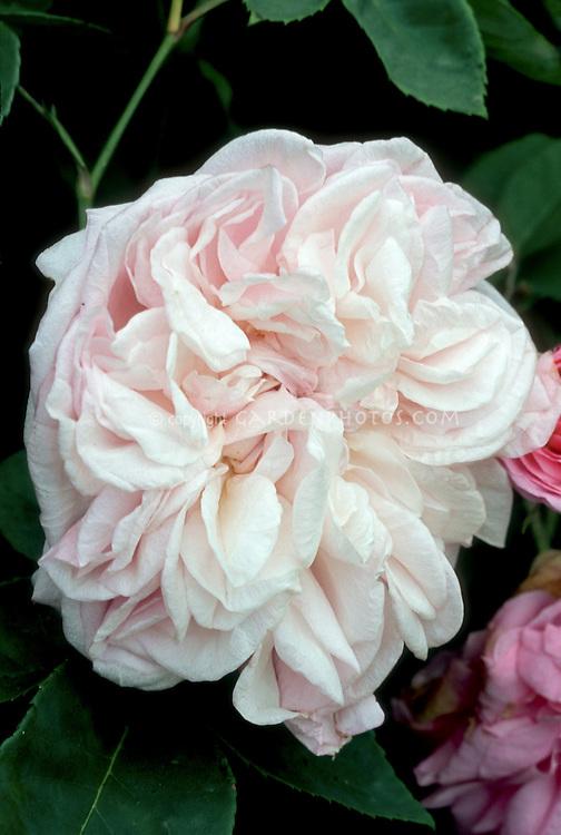 Rosa 'Souvenir de la Malmaison' (Bourbon Climber, 1893, antique old rose) pale pink