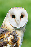 Portrait of a barn owl, which can be found on all continents.