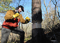 NWA Democrat-Gazette/FLIP PUTTHOFF <br /> BRINGING BACK THE GLADE<br /> Noah Sanders, a University of Arkansas student and intern at Hobbs State Park-Conservation Area, does a technique called girdling, or ring barking Wednesday Feb. 15 2017 on an eastern red cedar during a glade restoration project at the park. Hundreds of invasive cedars near the Shaddox Hollow Trail are being removed to restore a large glade. Girdling removes bark and kills the tree but allows it to remain standing for bird, insect and wildlife habitat. Smaller cedars are being cut and scattered in the glade to prepare for a prescribed burn in the area that will burn the cut cedars. Volunteers are needed on Saturday to carry small cedars uphill a short distance and scatter them as part of the restoration. Meet at the Shaddox Hollow trailhead on Arkansas 303 at 8:30 a.m. Volunteers are asked to call the park at 479-789-5009 so staff will know how much help to expect and how many pizzas to order for volunteers. Helpers should bring gloves, water and wear sturdy shoes.