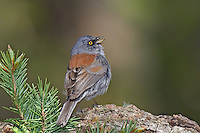 552200026 a wild yellow-eyed junco junco phaeonotus sings while perchaed on a rock by a douglas fir bough on mount lemmon near tucson arizona united states